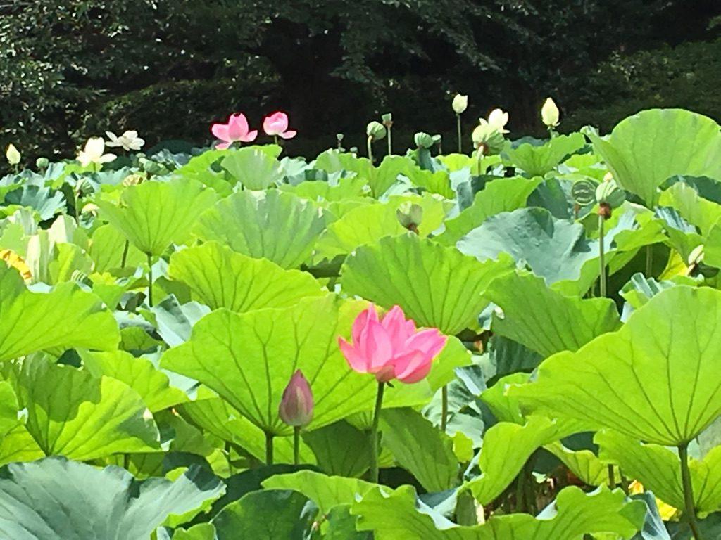 源平池の蓮の花の写真
