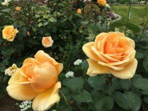 八幡山洋館のバラ黄色