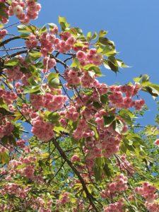 箱根の八重桜
