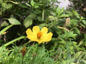 黄色コスモス