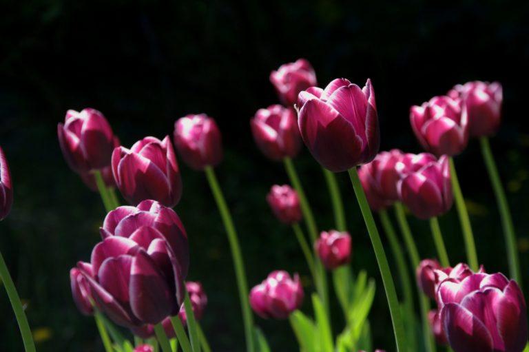 チューリップ赤紫